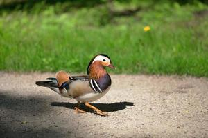 pato caminando foto