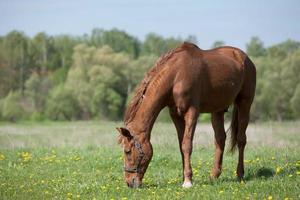 caballo marrón pastando foto