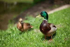un hermoso pato camina en el parque foto