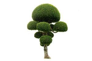 Tree shrub isolated on white background photo