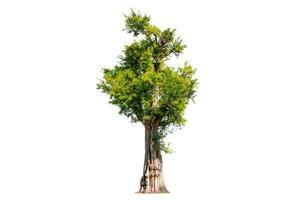 Tree shrub garden decoration on white background photo
