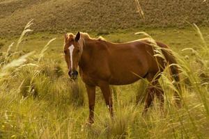 Plano completo de hermoso caballo marrón en Green Valley foto