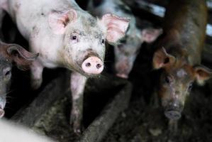 pequeña granja de cerdos foto
