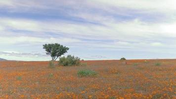 Namaqualand, South Africa, Springtime, Flowers include daisy and marigolds. Every year the dull semi-desert area transforms into a lush beautiful colourful landscape. video