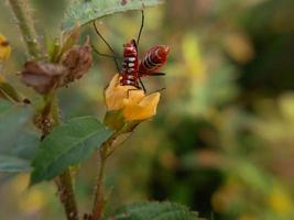 Dos insectos rojos con largas patas negras que se reproducen en hojas verdes. foto