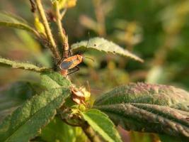 Insecto rojo con largas patas negras caminando sobre hojas verdes foto