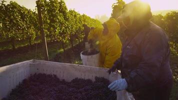 oregon, EUA - 4 de outubro de 2013, colheita de uvas para vinho no vinhedo. filmado em vermelho épico para alta qualidade 4k, uhd, resolução ultra hd. video