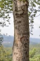 Tree trunk of a beech tree with scratched graffiti against a light, hilly background photo
