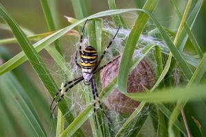 Argiope bruennichi wasp spider defending its cocooned eggs photo