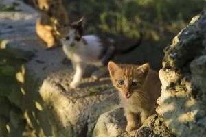 One month year old tiny kittens are on the garden wall and illuminated with warm sunset light photo