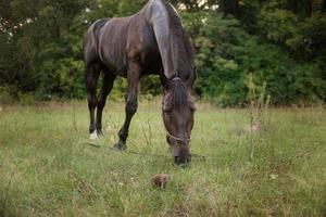 brown horse graze on a green summer meadow photo