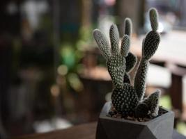Cactus trees in pots,selective focus photo