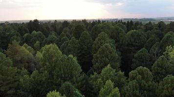 Aerial view pine trees forest, evergreen treetops. Siberia, Russia. video