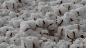 flores de algodón rebotando. flores de algodón blanco orgánico rebotan hacia arriba y hacia abajo video
