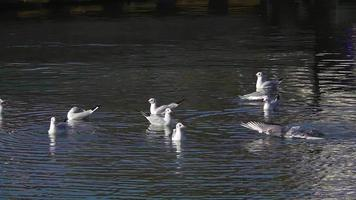 Slow Motion Flock of Seagulls Bathing and Resting in the Sea video