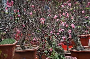 Pink flowers on peach trees in pots photo
