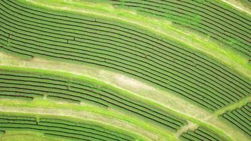 Aerial view of a tea plantation video