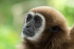Gibbon face in wild photo