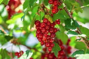 Ripe berries of a currant on a green bush photo