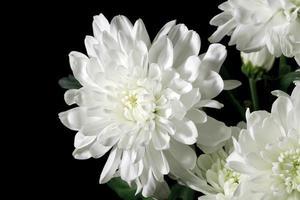 Chrysanthemum on black background photo