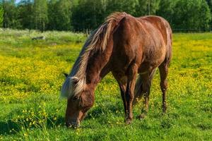 Icelandic horse grazing in a yellow summer field photo
