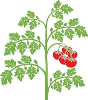 Tomato Plant with Leaves vector