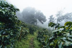 Coffee plantation in the misty forest in South Asia photo
