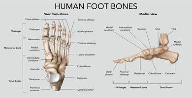 Human Foot Bones Composition vector