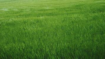 grüne Wiese und Mohn video