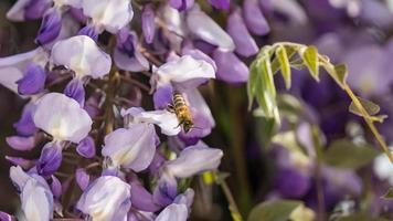 Close up of Purple wisteria flowers and bee, Crimea. photo
