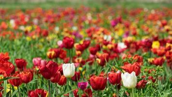 Prado de tulipanes multicolores cerca de Krasnodar, Rusia. foto