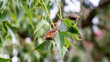 Brachychiton populneus seed pods on the tree, Israel photo