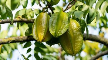 Close-up of Carambola starfruit growing on branch with green leaves, Israel photo