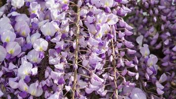 Close up of Purple wisteria flowers, Crimea photo