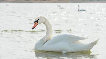 cisne blanco de cerca, lago sasyk-sivash foto