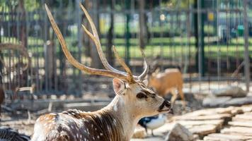A beautiful spotted Chital deer in a park Yarkon Tel Aviv, Israel photo