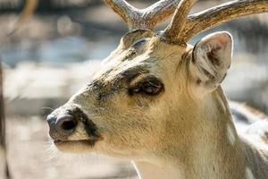 Close-up spotted Chital deer in a park Yarkon Tel Aviv, Israel photo