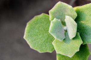 Hazy green and scallop like and thick fur on the leaves surface of Kalanchoe Milliot Succulent plant photo