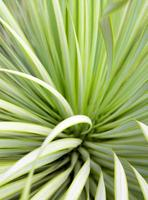 Succulent Yucca plant close-up, thorn and detail on leaves of Narrowleaf Yucca photo