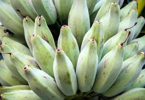 Manojo de bluggoe plateado en un árbol de plátano foto