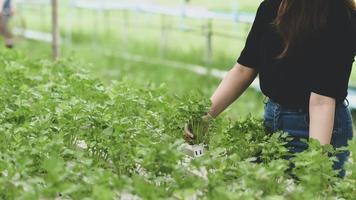 los agricultores controlan el crecimiento de hortalizas hidropónicas en invernaderos. foto