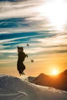 border collie salta en la nieve foto