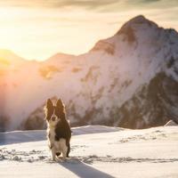 Border collie on snow photo