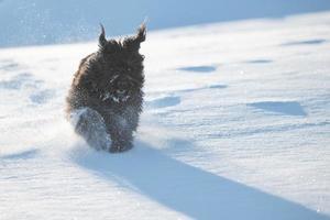 Gran perro pastor de Bérgamo negro corre en la nieve fresca foto