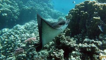 Rays Batoidea. Spotted Eagle Ray. Ordinary spotted orchak. Easily recognizable on white spots on a dark brown back. Reach up to 350 cm long. photo