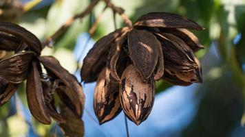 Dried pecan nuts on the tree, autumn in Israel photo