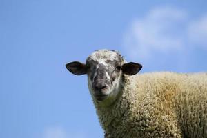 ovejas domésticas en época de crecimiento para la venta y consumo de ganado, cría de animales de granja para la venta y consumo foto