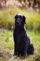 Perro perdiguero negro se sienta en medio de la hierba alta en otoño foto