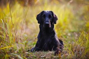 Perro perdiguero negro tumbado en la hierba foto