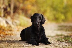 perro perdiguero negro tirado en el suelo foto
